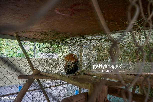 This picture taken on May 8 2018 shows one of the three red pandas once destined for the exotic wildlife trade in a sanctuary in Luang Prabang The...