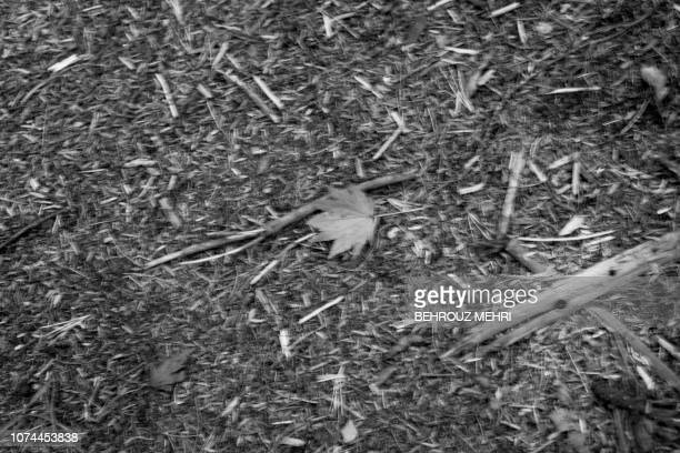This picture taken on November 1 2018 shows a fallen autumn leaf in Aokigahara Forest known as Suicide Forest in Narusawa village Yamanashi...