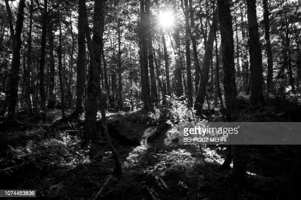 This picture taken on November 1 2018 shows a view of Aokigahara Forest known as Suicide Forest in Narusawa village Yamanashi prefecture Japanese...