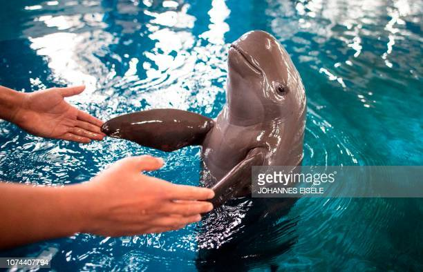 This picture taken on November 10, 2018 shows a Yangtze finless porpoise playing with a worker in a pool at Baiji dolphinarium in Wuhan. - One of the...