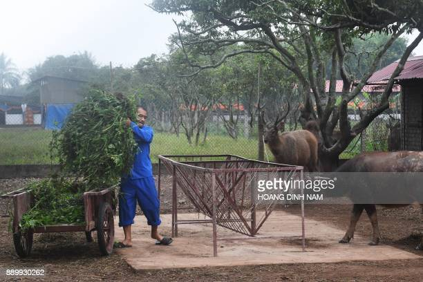 This picture taken on November 16 2017 shows an inmate putting out fodder for buffalo and deer at a drug rehabilitation centre in the northern city...