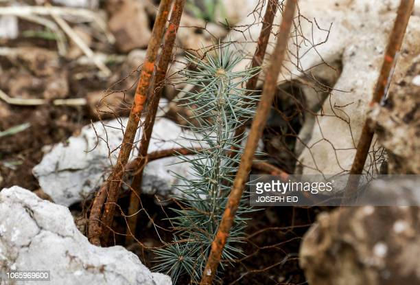 This picture taken on November 18 2018 shows a young cedar laid in a cage and surrounded by stones for protection from snow and animals freshly...