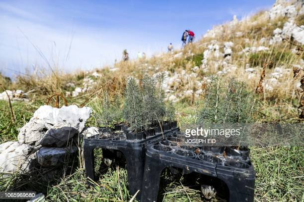 This picture taken on November 18 2018 shows young cedars yet to be planted by Lebanese NGO Jouzour Loubnan gather to plant young cedars on the...