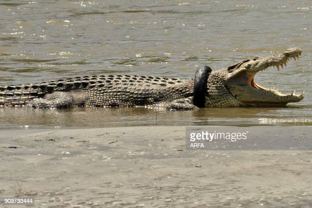 This picture taken on November 4 2016 shows a saltwater crocodile with a tyre around its neck in the Palu river in Palu Central Sulawesi Indonesian...