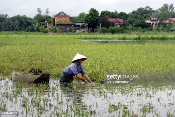 This picture taken on October 12 2017 shows a farmer harvesting rice on a flooded rice field in the northern province of Nam Dinh The death toll from...