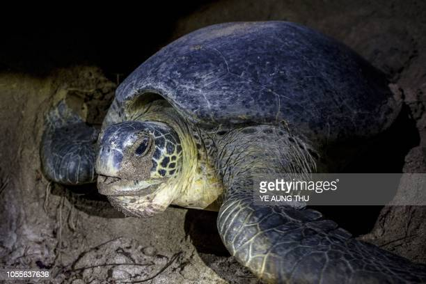 This picture taken on October 19 2018 shows a green turtle nesting at a beach on Thameehla Island Peril plagues the young life of a baby turtle in...