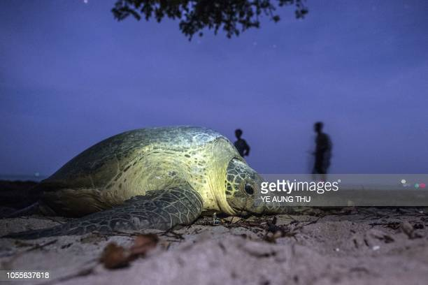 TOPSHOT This picture taken on October 19 2018 shows rangers standing near a green turtle heading back to the sea after laying eggs at a beach on...
