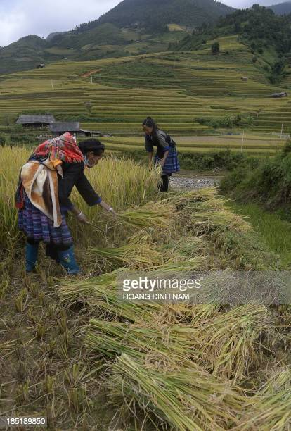 This picture taken on October 2 2013 shows Hmong ethnic hill tribe women harvesting rice on a terrace rice field in Mu Cang Chai district in the...