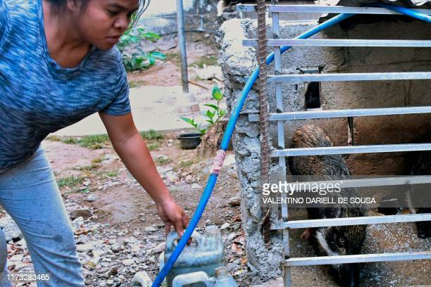 This picture taken on October 2 2019 shows a resident feeding her pig outside her home in Dili East Timor on October 3 confirmed that hundreds of...