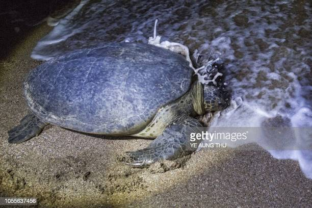 This picture taken on October 20 2018 shows a green turtle heading back to the sea after laying eggs at a beach on Thameehla Island Peril plagues the...