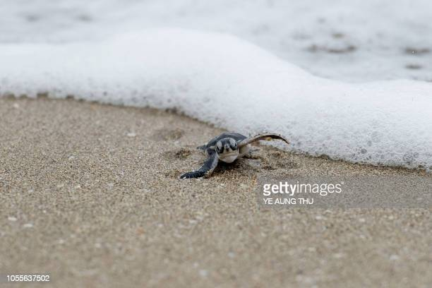 This picture taken on October 20 2018 shows a newborn green turtle after being released at a beach on Thameehla Island Peril plagues the young life...