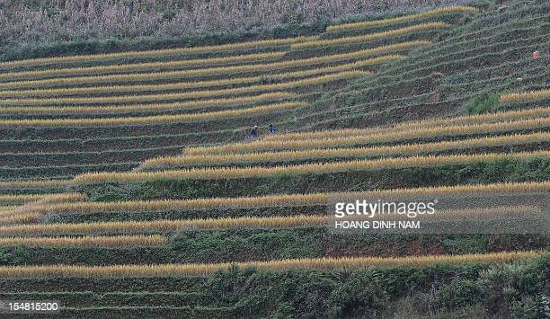 This picture taken on October 24 2012 shows H'Mong ethnic farmers harvesting rice on terrace fields in Mu Cang Chai district in the northwestern...