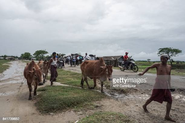 This picture taken on September 1 2017 shows Muslim people returning with cattle from the fields to an Internally Displaced Persons camp in Sittwe...