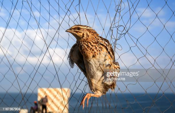 This picture taken on September 11 2019 shows a migrant quail snared in a trapping net on a beach in Khan Yunis in the southern Gaza Strip...