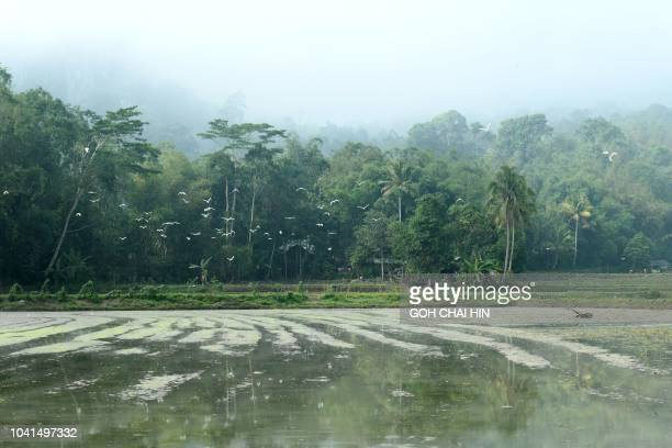 This picture taken on September 12 2018 shows a flock of birds flying over a paddy field in Kete Kesu on eastern Indonesia's Sulawesi island While...