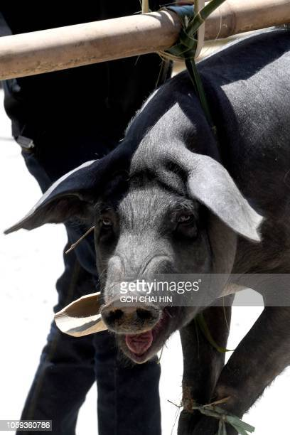 This picture taken on September 12 2018 shows a wild boar being carried by Torajan villagers as an offering during a funeral ceremony known as Rambu...