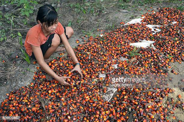 This picture taken on September 16 2015 shows 13yearold Indonesian girl Asnimawati working at a palm oil plantation area in Pelalawan Riau province...