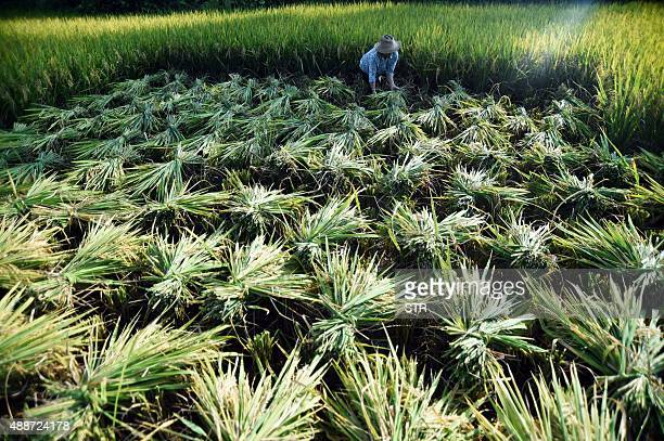 This picture taken on September 16 2015 shows a farmer working in her paddy fields in Chongqing Agriculture is a vital industry in China employing...