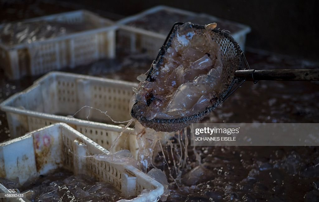 This picture taken on September 17, 2016 shows women sorting jellyfish into plastic boxes at a jellyfish pickle factory in Xianrendao next to Yingkou City in China's northeastern Liaoning province. For decades, equine-powered carts have trundled through the shallow waters off the peninsula near Xianrendao to meet shallow-keeled trawlers piled high with jellyfish, which teem in the waters of the Yellow Sea. Now Qin, 55, and his last two mules are ready to retire, as the area's traditional way of life slides into history. EISELE