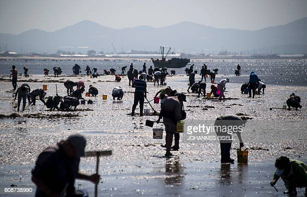 This picture taken on September 18 2016 shows people digging in the sand on the beach trying to catch razor clams in Xianrendao in China's...