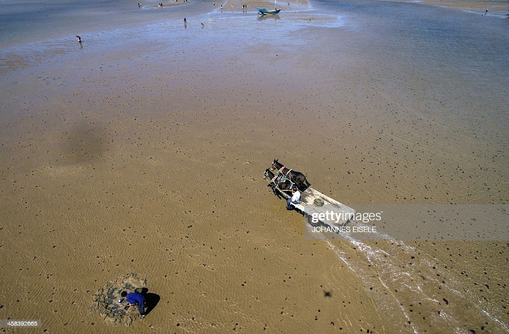 This picture taken on September 19, 2016 shows an aerial view of Qin Yusheng with his mules drawn cart at the beach in Xianrendao next to Yingkou City in China's northeastern Liaoning province. For decades, equine-powered carts have trundled through the shallow waters off the peninsula near Xianrendao to meet shallow-keeled trawlers piled high with jellyfish, which teem in the waters of the Yellow Sea. Now Qin, 55, and his last two mules are ready to retire, as the area's traditional way of life slides into history. / AFP / JOHANNES