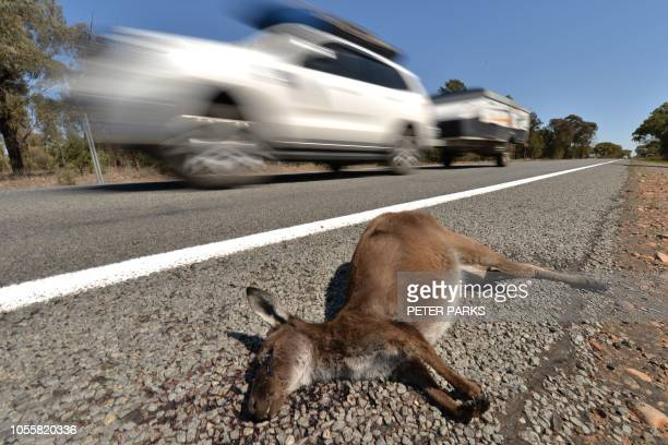 This picture taken on September 27 2018 shows a vehicle passing a dead kangaroo outside the town of Booligal in western New South Wales From...