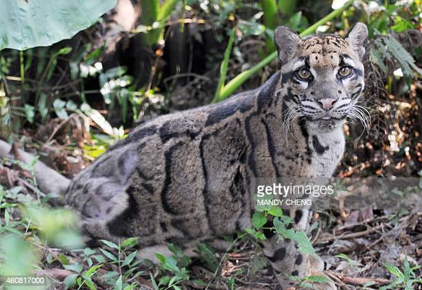 This picture taken on September 3 2013 shows a clouded leopard believed from Southeast Asia at the Taipei city zoo AFP PHOTO / Mandy CHENG