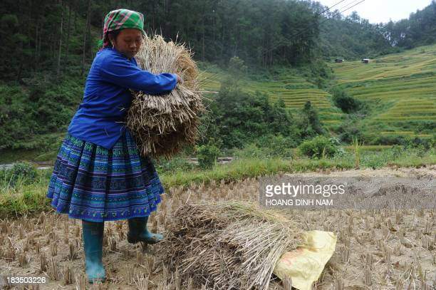 This picture taken on September 30 2013 shows a Hmong hilltribe woman harvesting a rice terrace field at Mu Cang Chai district northern Vietnamese...