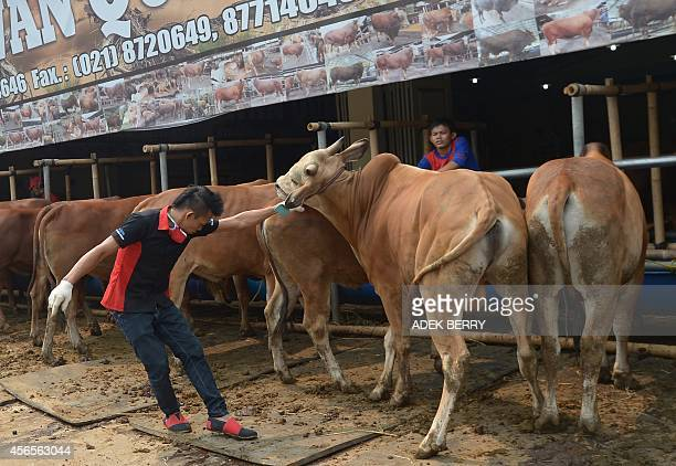 This picture taken on September 30 2014 shows a worker removing livestock at a cow showroom ahead of the Eid AlAdha festival in Depok Every year...