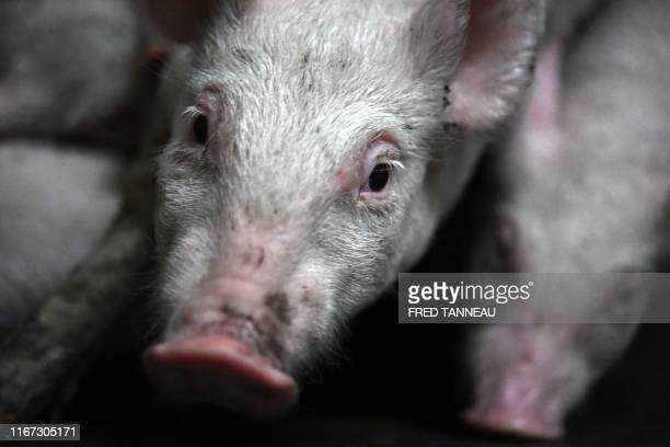 This picture taken on September 6, 2019 shows piglets in a pigsty which uses the energy produced from liquid manure to heat the farm in Monteneuf,...