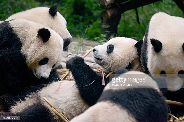 This picture taken on September 9 2016 shows a group of pandas eating bamboo at the Chengdu Research Base of Giant Panda Breeding in China's Sichuan...