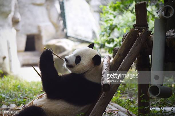 This picture taken on September 9 2016 shows a panda eating bamboo at the Chengdu Research Base of Giant Panda Breeding in China's Sichuan province...