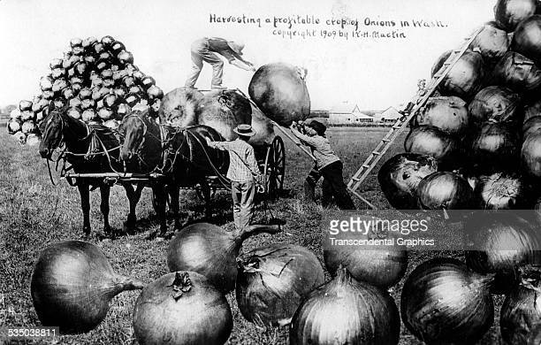 This real photo postcard features agricultural trick photography with an enormous harvest of onions by Martin Photography Company of Oxford Kansas...