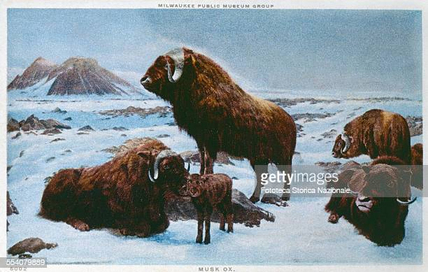 ' This robust and shaggy animal a musk ox moves into flocks formed by six to twenty units lives on territories to the north of the limit of the...