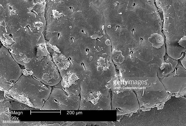 This scanning electron micrograph depicts a dorsal view of the scutum of an American dog tick Dermacentor variabilis magnified 99X 2002 Ticks are of...