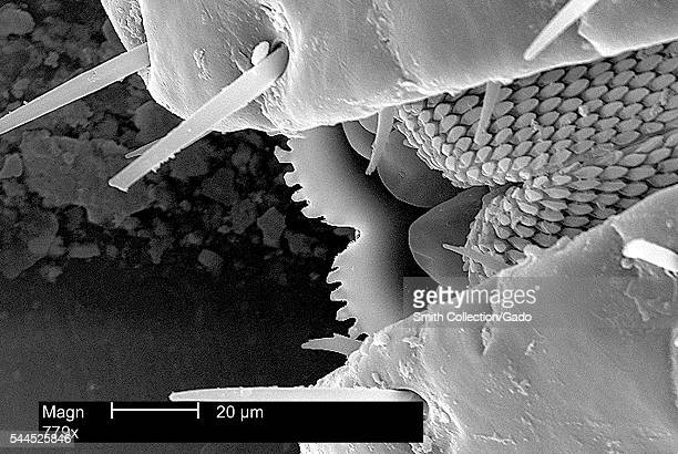 This scanning electron micrograph depicts an enlarged view of mouth parts of an American dog tick, Dermacentor variabilis, magnified 779X, 2002....