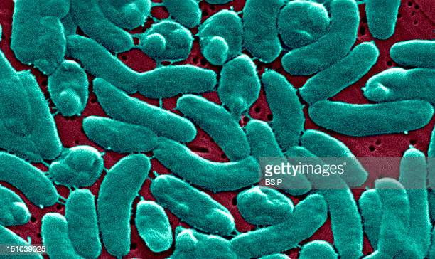 This Scanning Electron Micrograph Sem Depicts A Grouping Of Vibrio Vulnificus Bacteria Mag 13184X Vibrio Vulnificus Is A Bacterium In The Same Family...