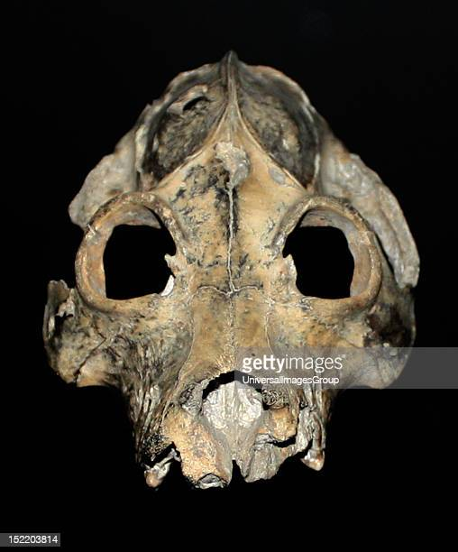 This skull one of several different kinds of giant lemur inhabiting Madagascar that became extinct in relatively recent times