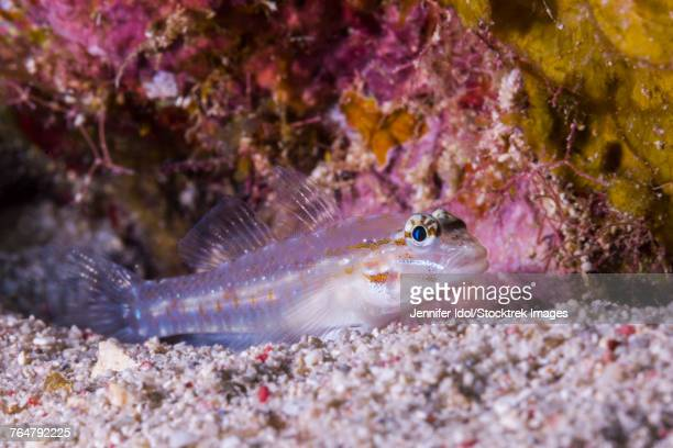This spotted goby rests on the seafloor of Grand Cayman, Cayman Islands.