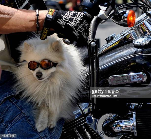 This sunglass wearing pooch seemed to be enjoying the ride with his biker codriver as they rode on Constitution Ave Tens of thousands of...