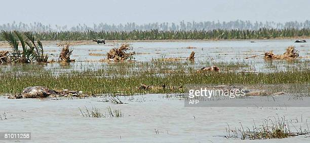 This undated photo received on May 7 2008 shows dead bodies and livestock in a flooded field in Labutta a town in the Irrawaddy division of southwest...