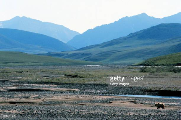 This undated photo shows a grizzly bear in the Arctic National Wildlife Refuge in Alaska The Bush administration''s controversial plan to open the...