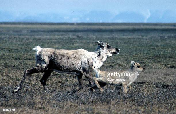 This undated photo shows caribou in the Arctic National Wildlife Refuge in Alaska The Bush administration''s controversial plan to open the refuge to...