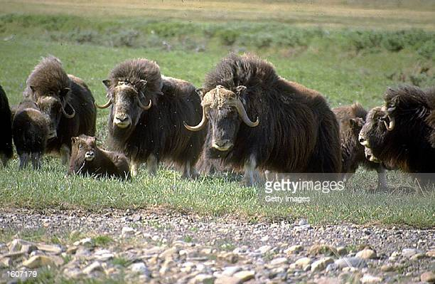 This undated photo shows muskoxen in the Arctic National Wildlife Refuge in Alaska The Bush administration''s controversial plan to open the refuge...