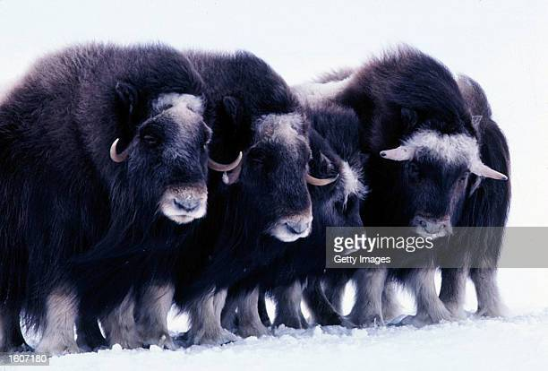 This undated photo shows young muskoxen in the Arctic National Wildlife Refuge in Alaska The Bush administration''s controversial plan to open the...