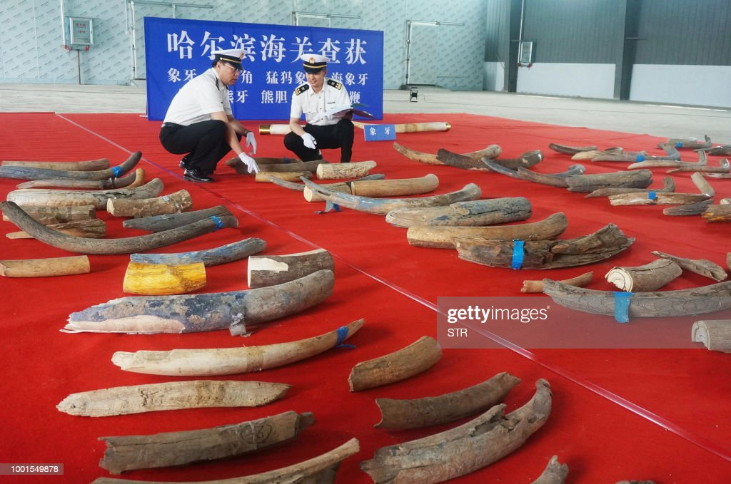 This undated photo taken in July 2018 shows customs officers checking on smuggled prehistoric mammoth tusks in Harbin in China's northeastern Heilongjiang province. - Chinese customs authorities said they seized 156 prehistoric mammoth tusks from a truck entering from Russia in one of the country's largest such hauls. (Photo by STR / AFP) / China OUT
