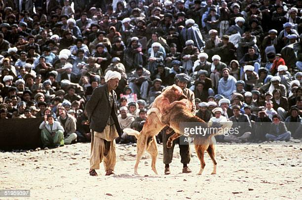 This undated picture shows a scene of dogfighting in in the central parts of Afghanistan The practice considered sport fun hobby and prestige is...