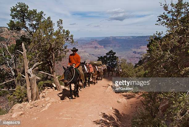 Wrangler Leading a Mule Train up the South Kaibab Trail