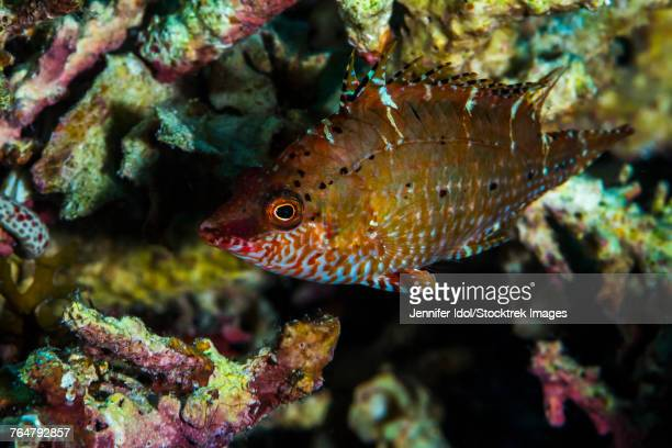 This wrasse in Raja Ampat, Indonesia, appears similar to the cryptic wrasse.