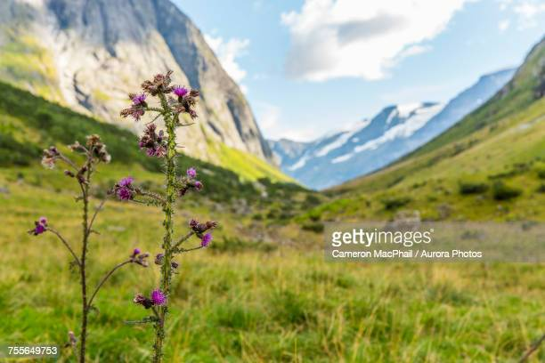 Thistle and meadow in valley, Urke, More og Romsdal, Norway